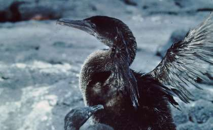 Galapagos cormorant threatened by climate change