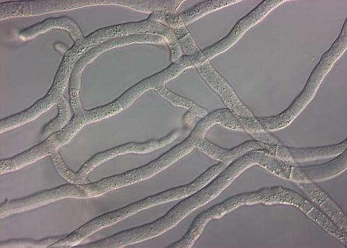 Gap closed in the genetic map of kingdom fungi