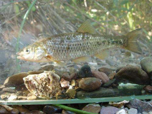 Genetic analysis calls for the protection of 2 highly endangered Portuguese fish species