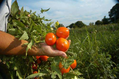 Genetic discovery points the way to much bigger yields in tomato, other flowering food plants