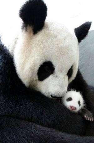 Giant panda Yuan Yuan hugs her cub Yuan Zai at Taipei City Zoo