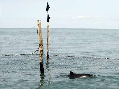 Harbor porpoises can thank their worst enemy, the killer whale for their success
