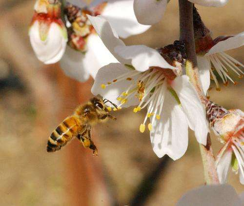 Honey bees are more effective at pollinating almonds when other species of bees are present