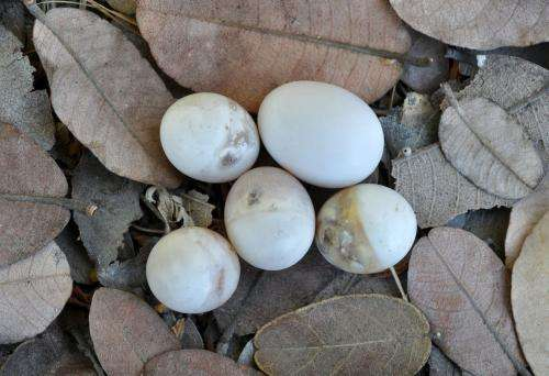 Honeyguide birds destroy own species' eggs to eliminate competition