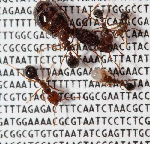 Scientists identify new 'social' chromosome in the red fire ant