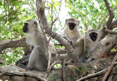 In solving social dilemmas, vervet monkeys get by with a little patience