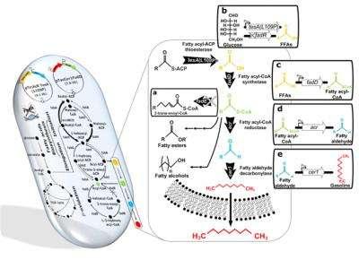 KAIST produces gasoline via metabolically engineered microorganism