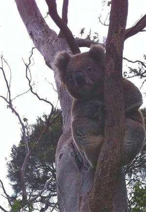 Koalas' low-pitched voice explained by unique organ