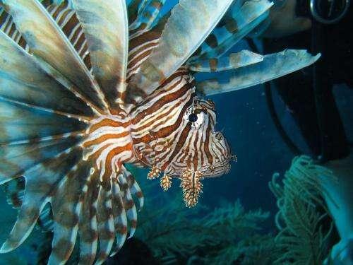 Caribbean's native predators unable to stop aggressive lionfish population growth