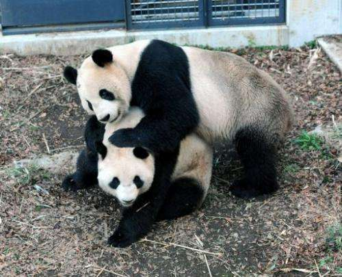 "Male and female giant pandas, ""Ri Ri"" (top) and ""Shin Shin"", are shown at Tokyo's Ueno Zoological Park, Marc"