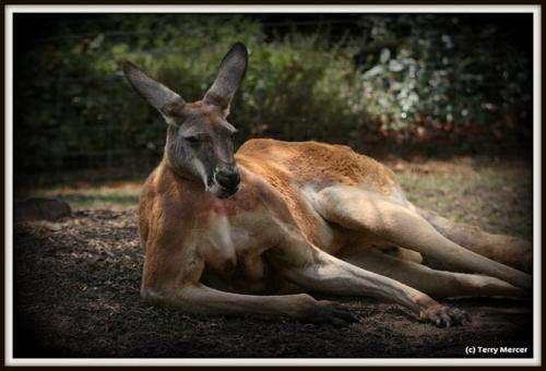 Male kangaroos woo mates with bulgingbiceps