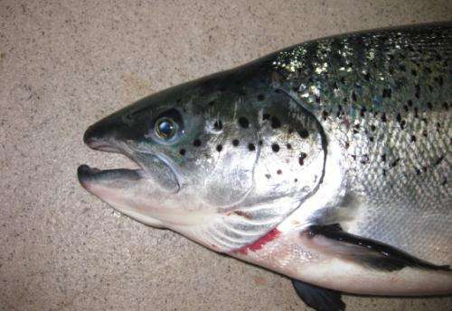 Melanin pigmentation in salmon fillets – causes and risk factors
