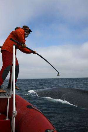 Military sonar can alter blue whale behavior