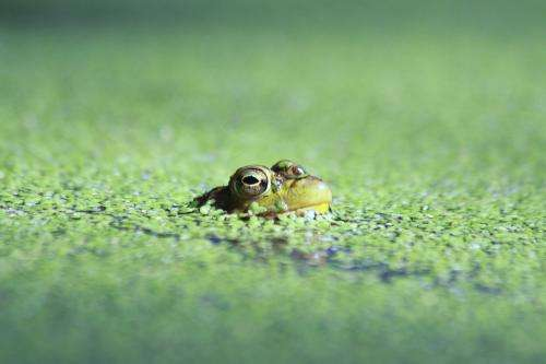 Missouri ponds provide clue to killer frog disease