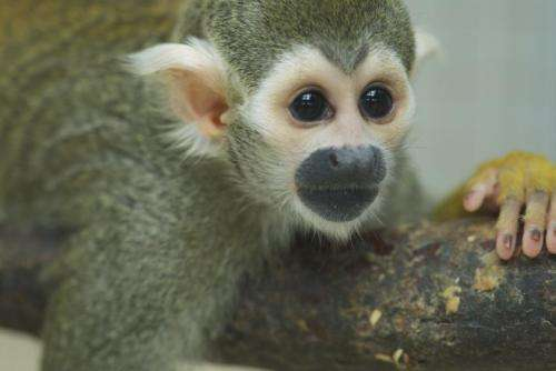 Monkeys 'understand' rules underlying language musicality