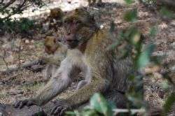 Monkeys' winter death toll shows true value of friendship in natural selection