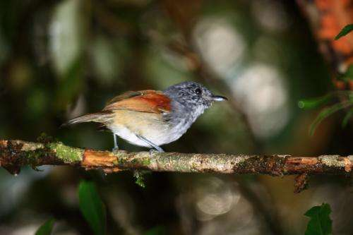 More at-risk bird species in Brazilian forest than previously thought
