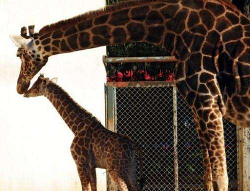 Mother giraffe Jacky pampers her new-born at Buenos Aires zoo on July 16, 2013