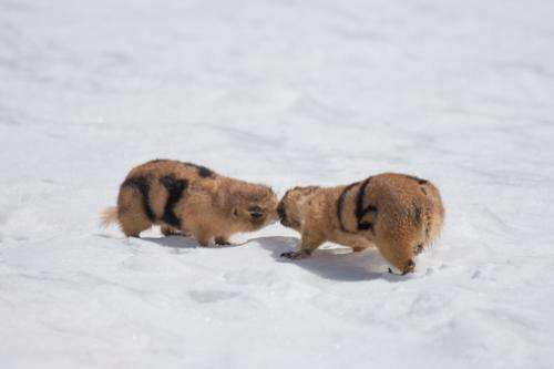 Multiple mates worth the risk for female prairie dogs