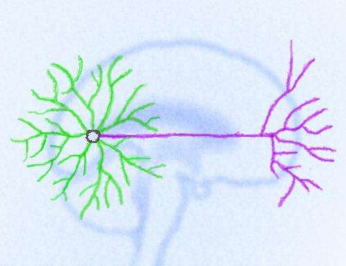 Neuronal regeneration and the 2-part design of nerves