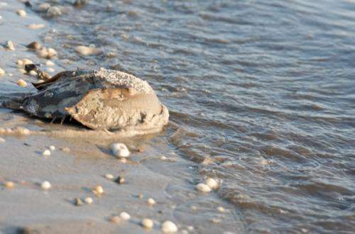 New artificial bait could reduce number of horseshoe crabs used to catch eel, whelk