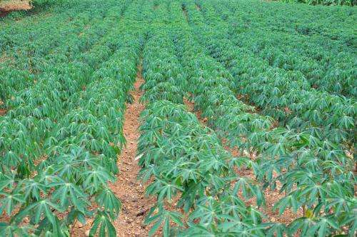 New database catalogs thousands of genetic variants in cassava—one of the world's primary food sources