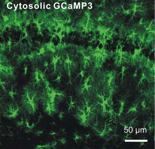 New methods to explore astrocyte effects on brain function