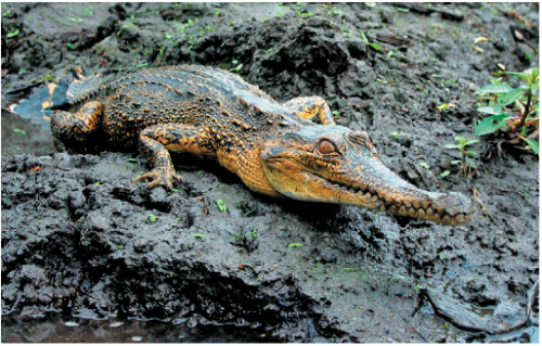 New study sheds light for those working to save world's endangered crocodiles