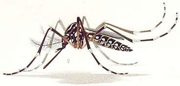 New view of dengue fever