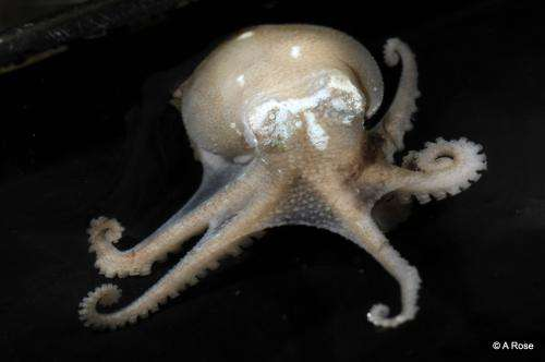 Octopus' blue blood allows them to rule the waves!