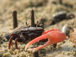 Old crabs wave longer, not harder, in order to attract young females