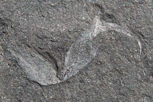 Oldest land-living animal from Godwana found