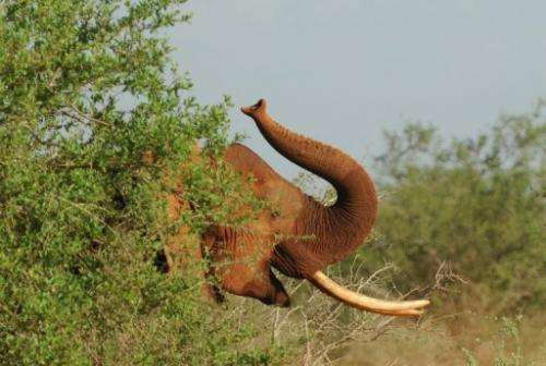Once they developed a taste for grass, the ancestors of today's elephants swiftly broadened their leaf-only diet