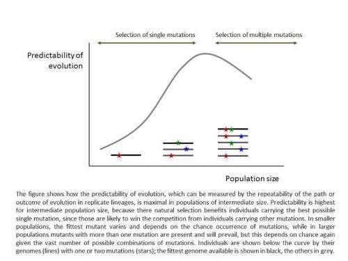 Optimal population size allows maximum predictability of evolution