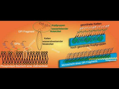 Order in the chaos of a cell membrane: Crystalline areas form in model membranes based on a previously unknown mechanism