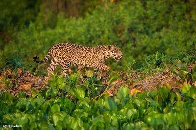 Panama and Panthera establish historic jaguar protection agreement