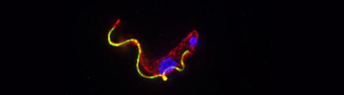 Parasite helps itself to sugar