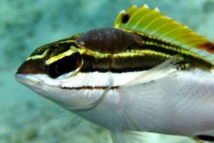 Parasitised fish pick sides
