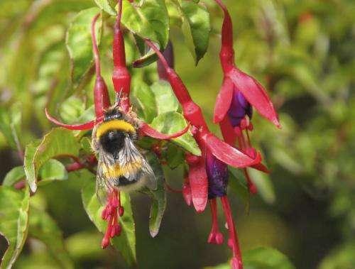 Peaceful bumblebee becomes invasive