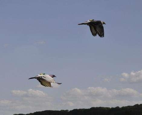 Pigeon wingman rules