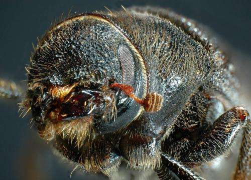 Pining for a beetle genome