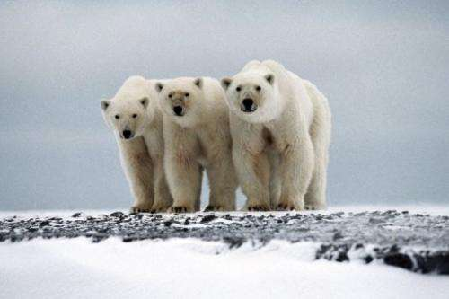 Polar bears are seen as the animal on the front line of global warming and will be hit-hard by melting polar ice caps