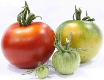 Process that controls tomato ripening discovered