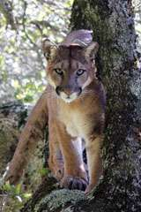 Puma tracking reveals impact of habitat fragmentation