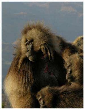 Rare primate's vocal lip-smacks share features of human speech