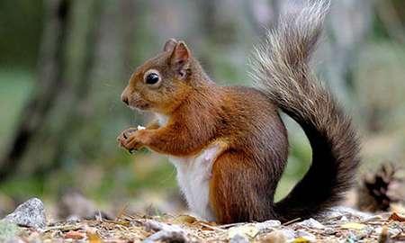 Red Squirrels showing resistance to squirrelpox