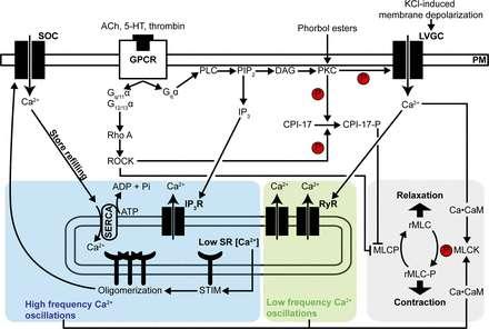 Researchers explore PKC role in lung disease
