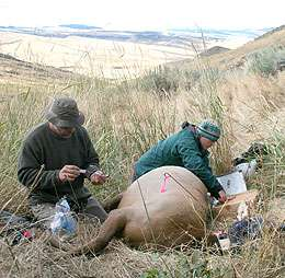 Research: Migration No Longer Best Strategy for Yellowstone Elk
