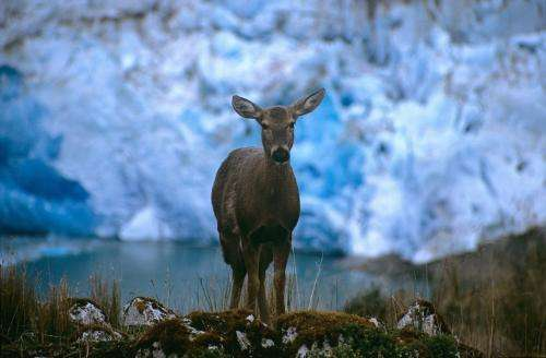 Resurgence of endangered deer in Patagonian 'Eden' highlights conservation success