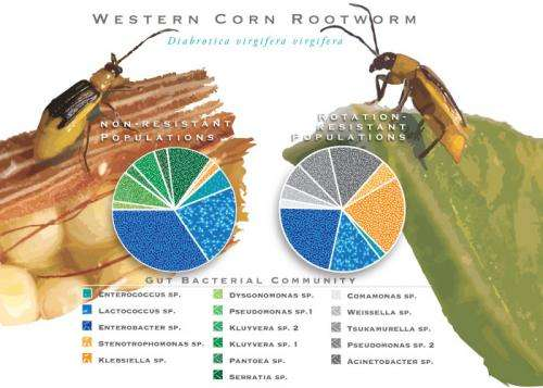 Rotation-resistant rootworms owe their success to gut microbes